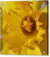 Dance Of The Daffodil Acrylic Print