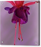 Dance Of The Fuschia Acrylic Print