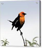 Dancing Blackbird Acrylic Print