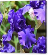 Dancing Blue Irises Acrylic Print