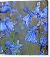 Dancing Bluebells Acrylic Print