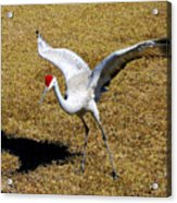 Dancing Crane Acrylic Print