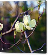 Dancing Dogwood Blooms Acrylic Print