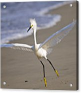 Dancing Egret Acrylic Print