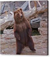 Dancing Grizzly Acrylic Print
