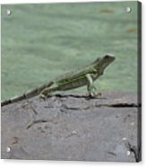 Dancing Iguana On Rocks Along The Water's Edge Acrylic Print