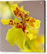 Dancing Lady Orchid Acrylic Print