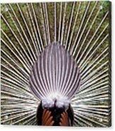 Dancing Peacock, Kanha National Park Acrylic Print