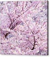 Dancing Sakura Haiku Acrylic Print