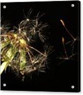 Dandelion 2 Acrylic Print