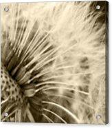 Dandelion 8 Acrylic Print