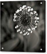Dandelion.  Acrylic Print