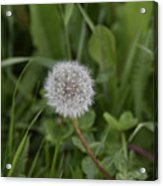 Dandelion at the end Acrylic Print