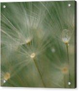 Dandelion Dew Two Acrylic Print