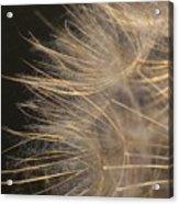 Dandelion Eighty Acrylic Print