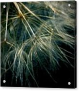 Dandelion Eighty Six Acrylic Print