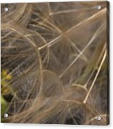 Dandelion Eighty Three Acrylic Print