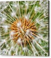 Dandelion Explosion Acrylic Print