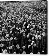 Dandelion Field In Black And White Acrylic Print