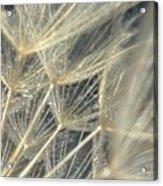 Dandelion Fifty Acrylic Print