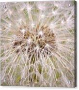 Dandelion Fireworks Acrylic Print