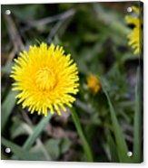 Dandelion Flower Acrylic Print