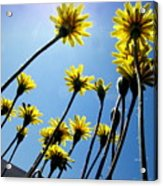 Dandelion Forest Acrylic Print