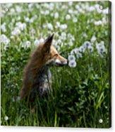 Dandelion Fox Acrylic Print