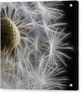 Dandelion Frost Acrylic Print