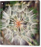 Dandelion Fuzz Acrylic Print
