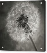 Dandelion In Black And White Acrylic Print