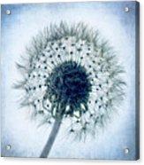 Dandelion In Blue Acrylic Print