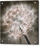 Dandelion In Brown Acrylic Print by Aimelle