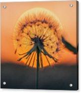 Dandelion In The Sun Acrylic Print