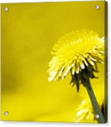 Dandelion In Yellow Acrylic Print