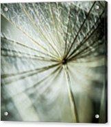 Dandelion Petals Acrylic Print