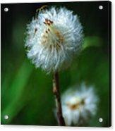 Dandelion Puff  Acrylic Print