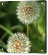 Dandelion Seed Heads Acrylic Print