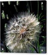 Dandelion Seedball Acrylic Print