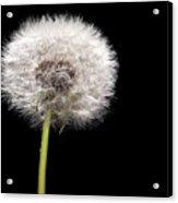 Dandelion Seedhead Acrylic Print