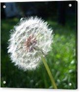 Dandelion Seeds 101 Acrylic Print