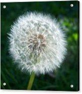 Dandelion Seeds 107 Acrylic Print