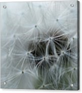 Dandelion Seeds Close-up Acrylic Print