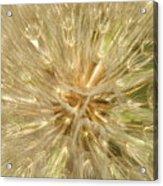Dandelion Seeds Acrylic Print