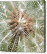 Dandelion Sparkles Acrylic Print