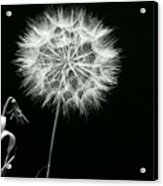 Dandelion Thirty Six Acrylic Print