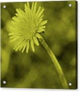 Dandelion Tint Acrylic Print