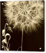 Dandelion Twenty Eight Acrylic Print