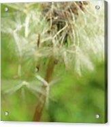 Dandelion Wish 7 Acrylic Print