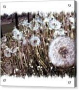Dandelion Wishes Acrylic Print